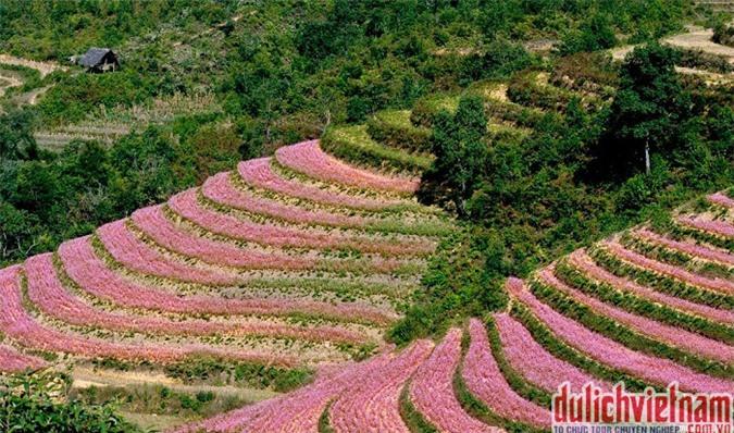 Du lịch Hà Giang- Mãn nhãn mùa hoa tam giác mạch