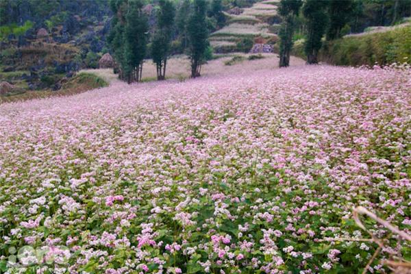 Hà Giang - Thiên đường của hoa tam giác mạch