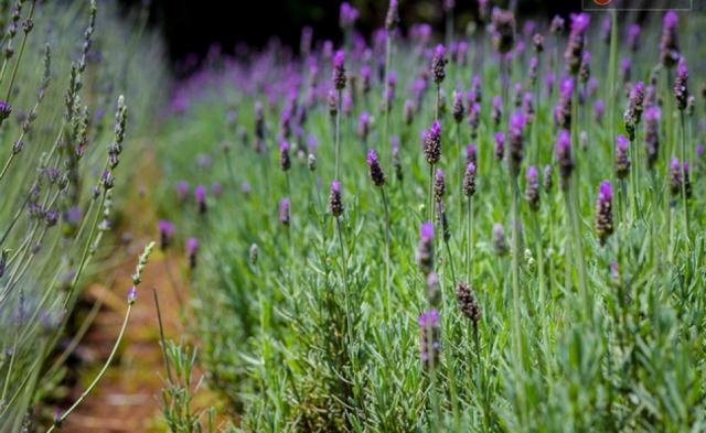 3 Cánh đồng hoa Lavender đẹp ngây ngất ở Đà Lạt